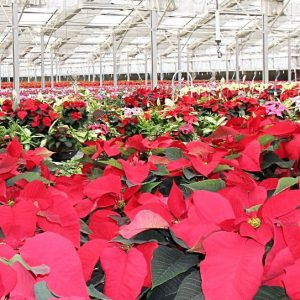 warehouse-poinsettia-duarte